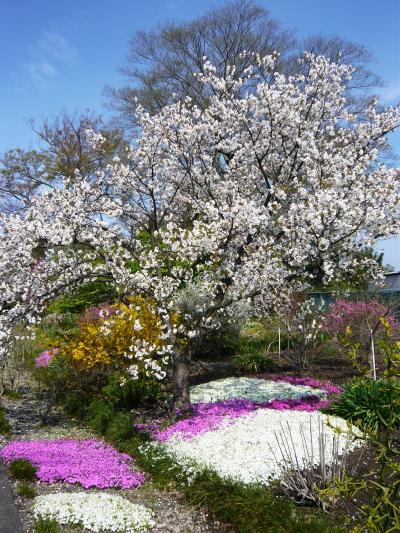 ブログ 桜サクラ