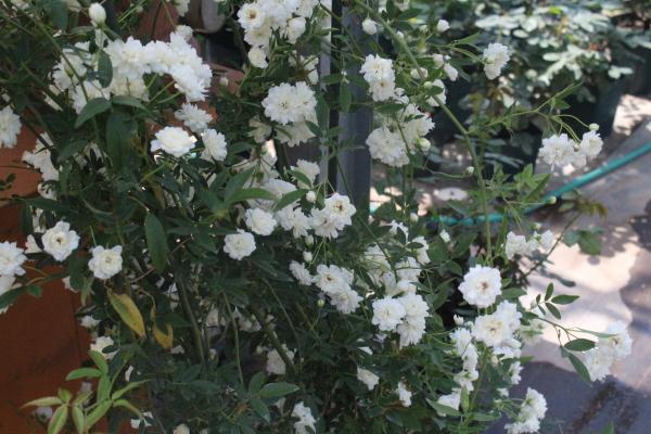 白モッコウバラ八重咲き