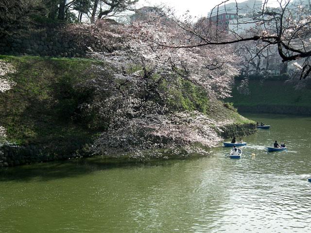 2015千鳥ヶ淵の桜(4)