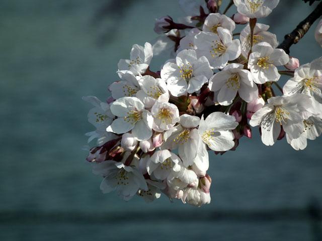 2015千鳥ヶ淵の桜(6)