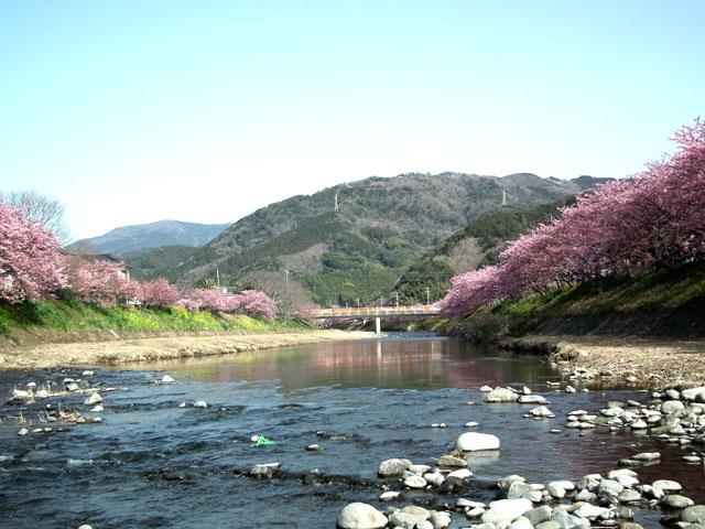 2015河津町 河津桜(11)