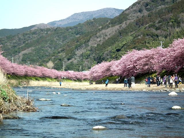 2015河津町 河津桜(12)
