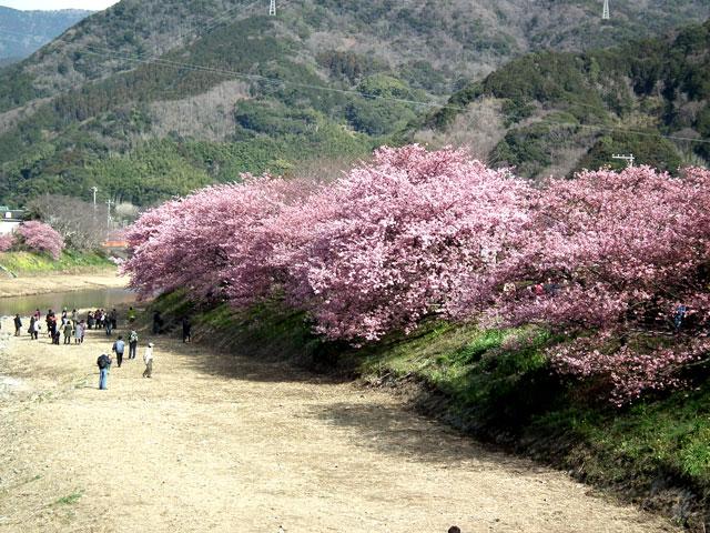 2015河津町 河津桜(14)