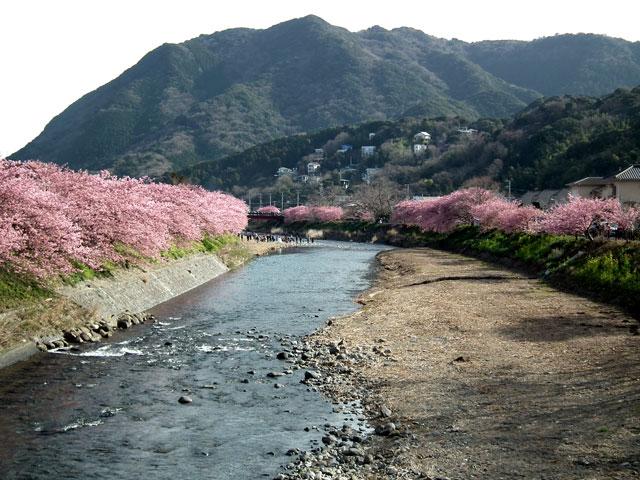 2015河津町 河津桜(15)