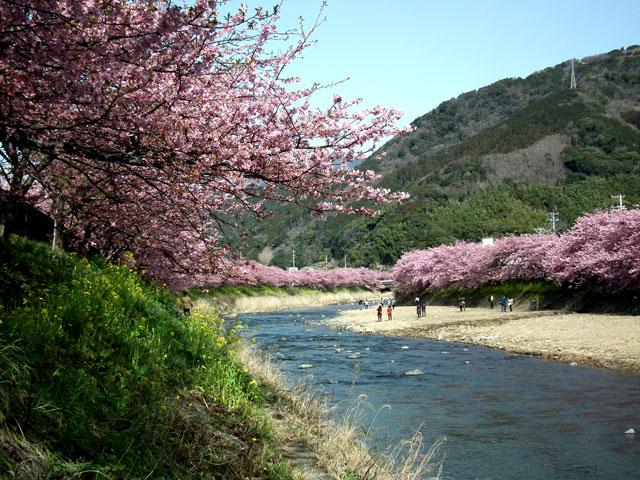 2015河津町 河津桜(16)