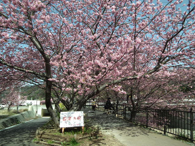 2015河津町 河津桜(22)
