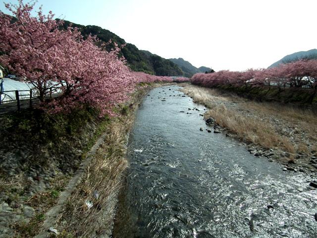 2015河津町 河津桜(28)