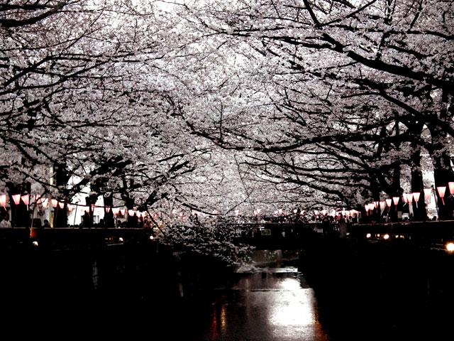 2015目黒川の桜(1)
