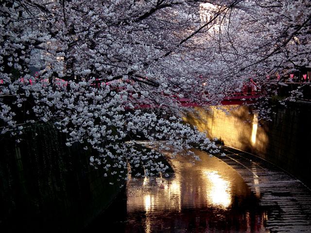 2015目黒川の桜(2)