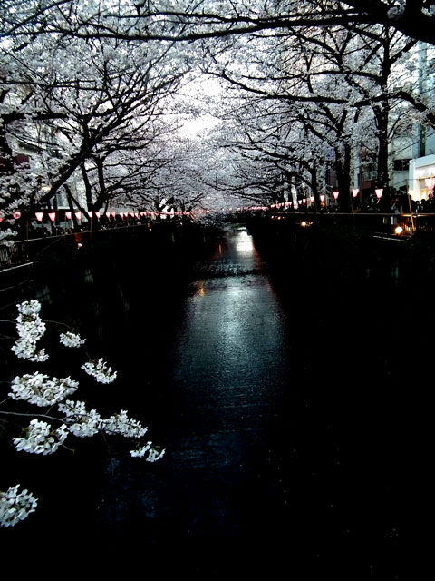 2015目黒川の桜(3)