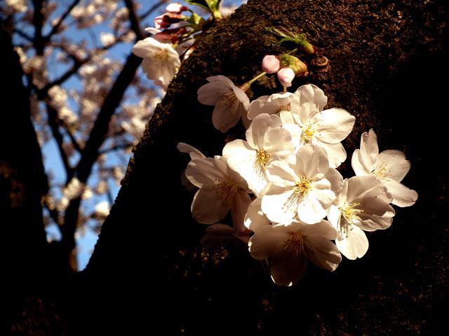 2015目黒川の桜(4)