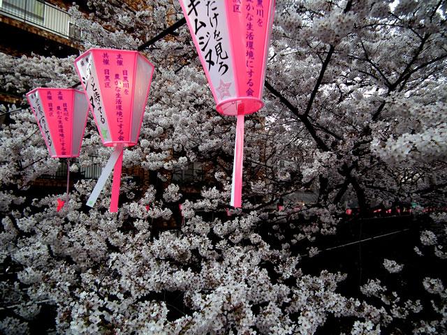 2015目黒川の桜(5)