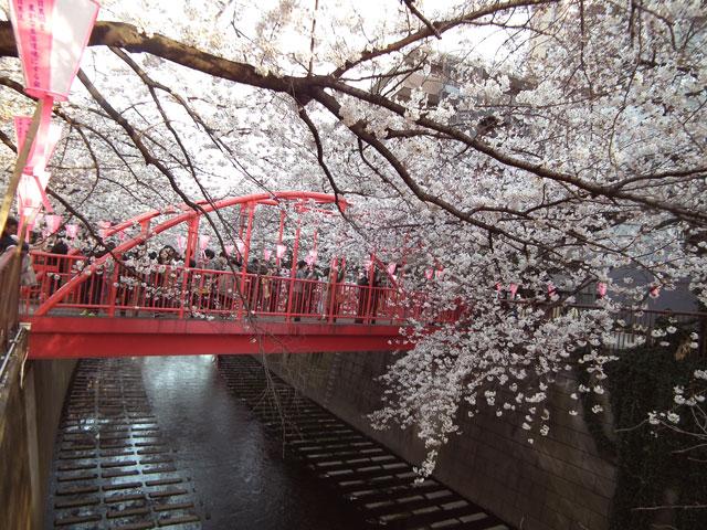 2015目黒川の桜(6)
