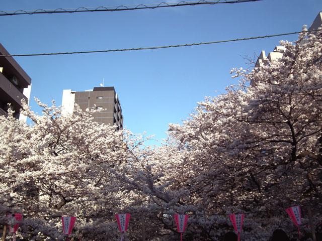 2015目黒川の桜(7)