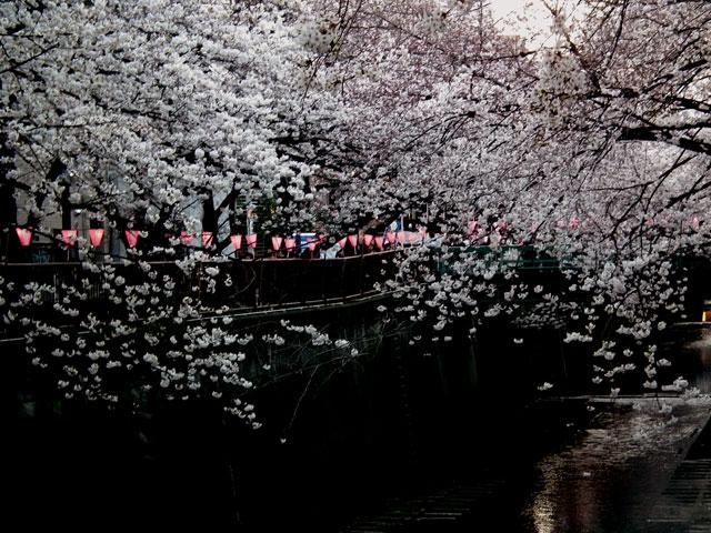 2015目黒川の桜(8)