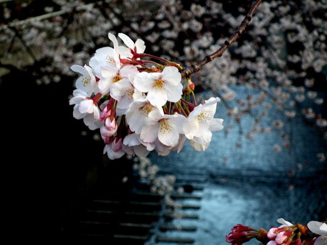2015目黒川の桜(9)