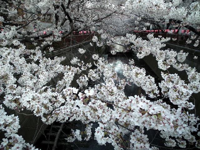 2015目黒川の桜(10)