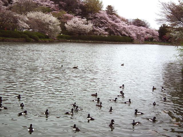 2015三ッ池公園の桜(1)
