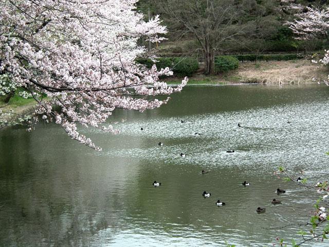2015三ッ池公園の桜(2)