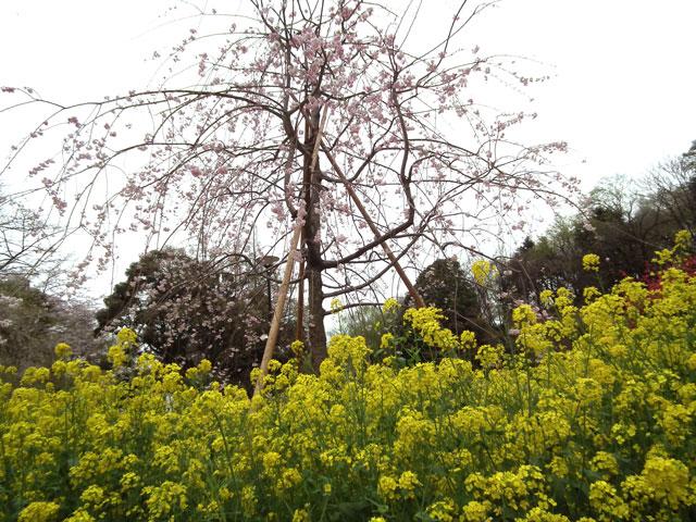 2015三ッ池公園の桜(3)