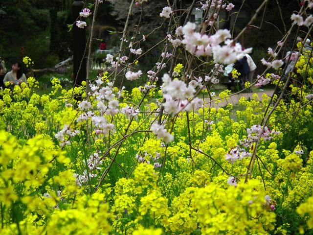 2015三ッ池公園の桜(4)