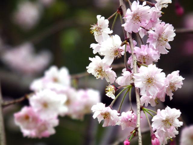 2015三ッ池公園の桜(5)