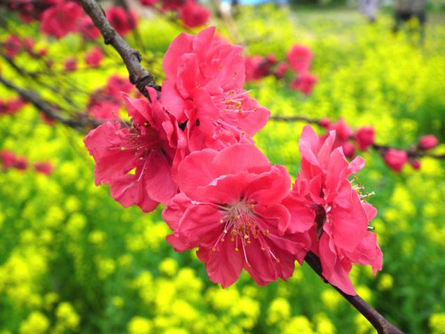 2015三ッ池公園の桜(6)