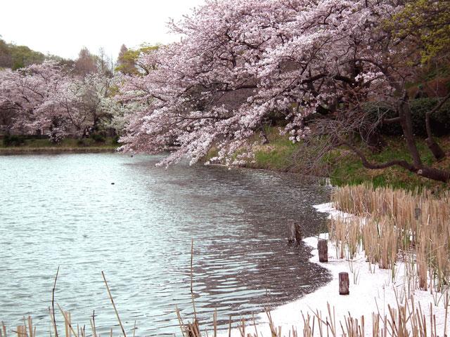 2015三ッ池公園の桜(9)