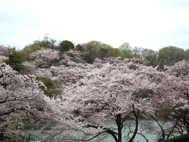 2015三ッ池公園の桜(10)
