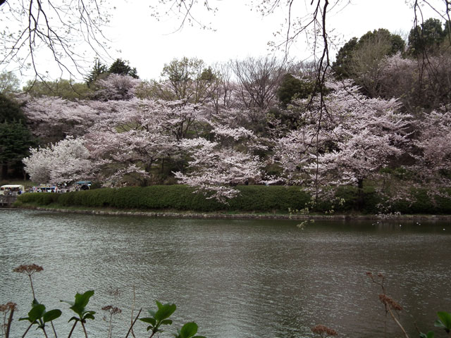 2015三ッ池公園の桜(11)
