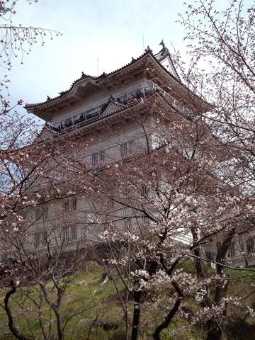 2015小田原城の桜2