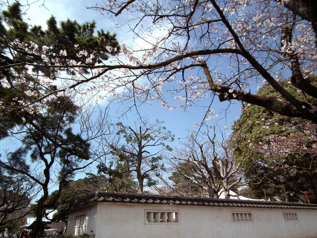 2015小田原城の桜3