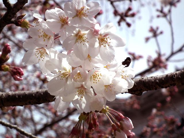 2015小田原城の桜4