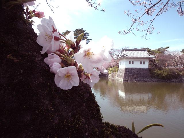 2015小田原城の桜5