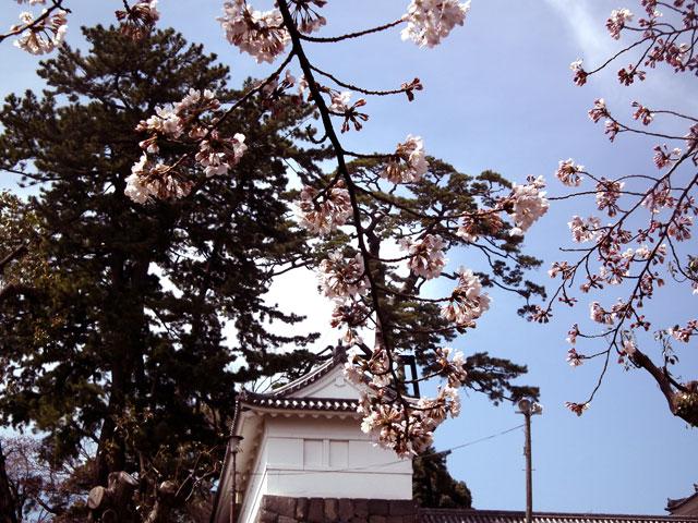 2015小田原城の桜6