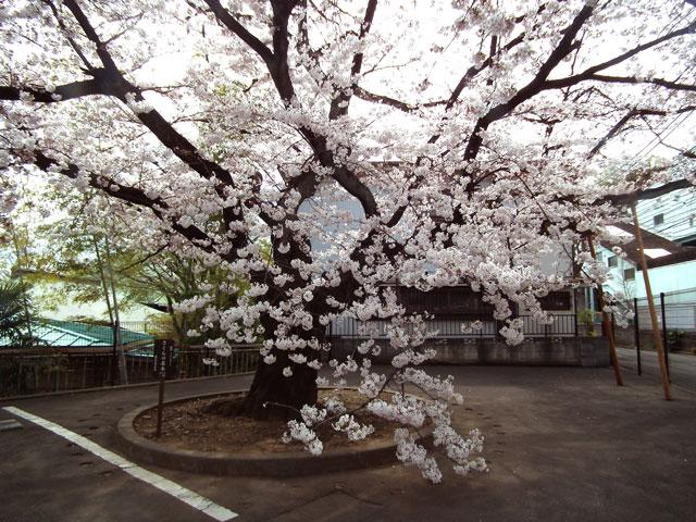 2015大岡川プロムナードの桜(1)