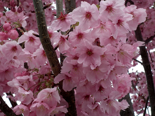 2015大岡川プロムナードの桜(3)