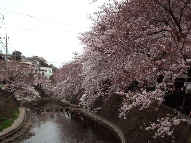 2015大岡川プロムナードの桜(4)