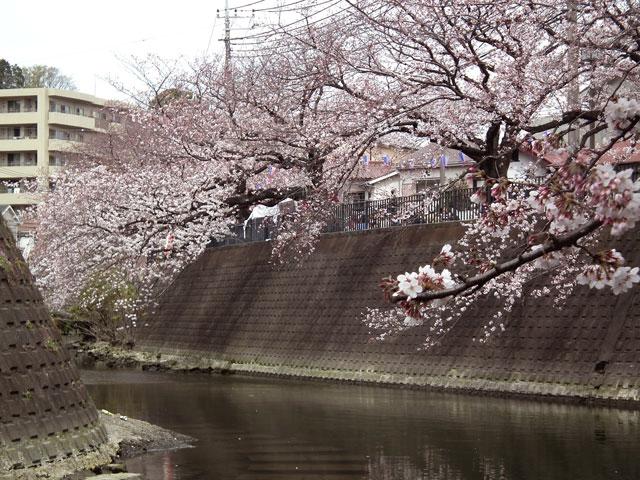 2015大岡川プロムナードの桜(5)