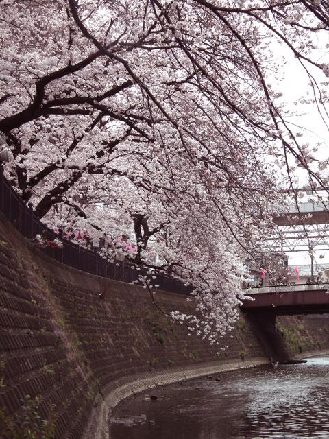 2015大岡川プロムナードの桜(6)