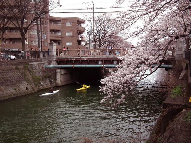 2015大岡川プロムナードの桜(7)