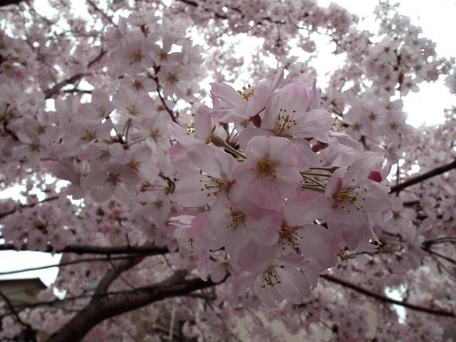 2015大岡川プロムナードの桜(8)