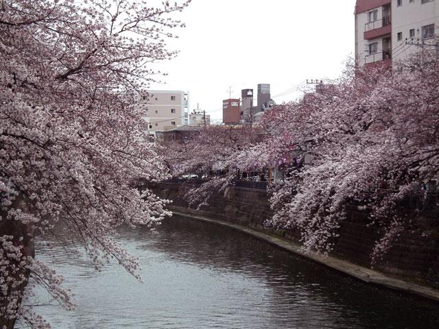 2015大岡川プロムナードの桜(9)
