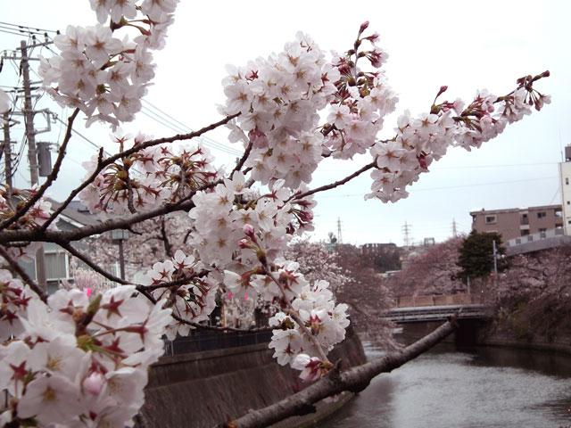 2015大岡川プロムナードの桜(10)