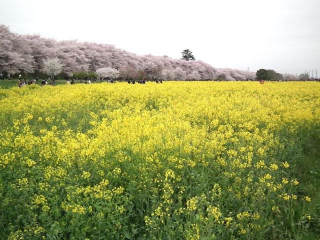 2015権現堂桜堤の桜(1)