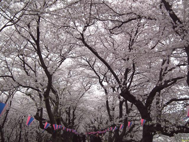 2015権現堂桜堤の桜(2)