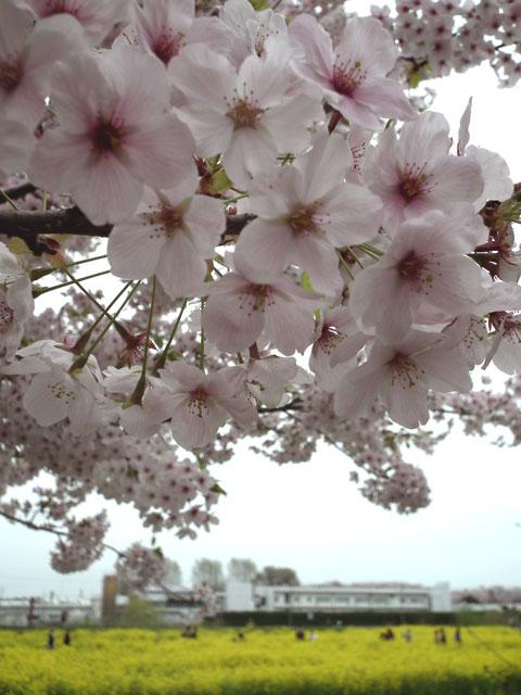2015権現堂桜堤の桜(3)