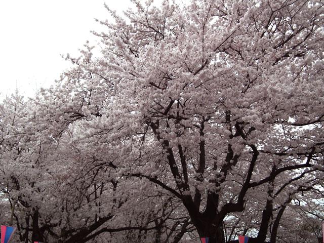 2015権現堂桜堤の桜(4)
