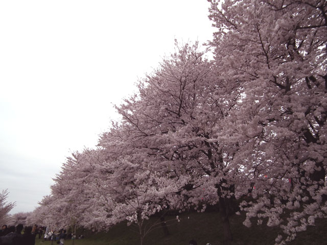 2015権現堂桜堤の桜(5)