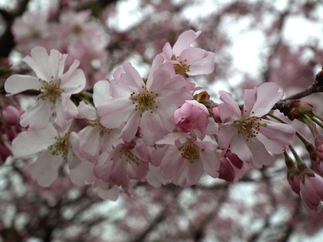 2015権現堂桜堤の桜(6)